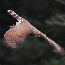 獲物を見つけ、電柱から低空飛行するサシバ