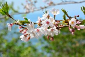 開花期を迎えた湯湾岳公園のソメイヨシノ=30日、宇検村