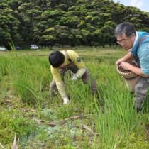水田に繁殖した特定外来生物ボタンウキクサの駆除作業=23日、龍郷町大勝