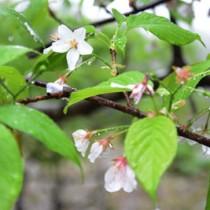 雨の山中で美しい花を咲かせる梅次郎桜=16日、宇検村
