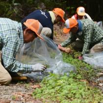 除去作業を行う奄美マングースバスターズのメンバーら=27日、奄美市住用町の奄美中央林道