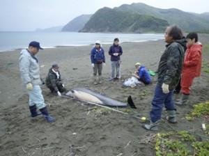 漂着したスジイルカを計測する関係者ら(提供写真)