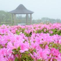 春雨にぬれて鮮やかに咲くヒラドツツジ=6日、宇検村の峰田山公園