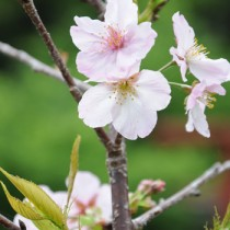 瀬戸内町網野子で陽光桜開花①縦180411栄