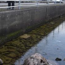 名瀬港で見つかった幅1・6メートルのマダラエイ=11日、奄美市