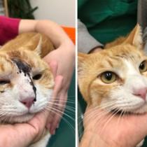 ハブに頭をかまれた猫。右は治療後6日目の様子(ゆいの島どうぶつ病院提供)