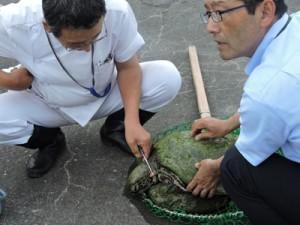 救助されたアオウミガメを、心配した様子で見守る関係者=1日、湾漁港