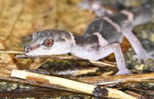 種の保存法で捕獲や取引が規制されている徳之島固有種のオビトカゲモドキ