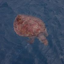 釣り糸が絡まった状態で死んでいるのが見つかったアオウミガメ(提供写真)