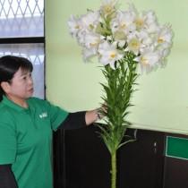 田浦さんが寄贈した珍しいテッポウユリ=永良部花き専門農協