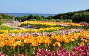 1万輪のスカシユリが開花した笠石海浜公園=13日、和泊町