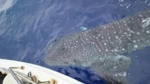 大和村の漁業者が遭遇したジンベエザメ=28日、同村沖(提供写真)