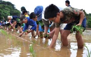 田んぼの中で一列になり、稲の苗を植える住民ら4月=30日、和泊町後蘭