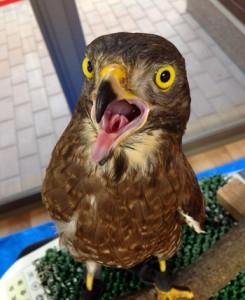 展示期間中に公開されるサシバの「サシオ」(平川動物公園提供)