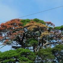 松枯れで枯死した有盛神社の「ウンテラ松」=2013年10月、奄美市名瀬浦上町(奄美博物館提供)