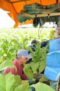 青々と育った葉タバコのほ場で、収穫を行う田中富行さん(手前)=知名町正名