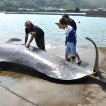 大和村に漂着したコビレゴンドウの死骸=4日、同村の津名久漁港