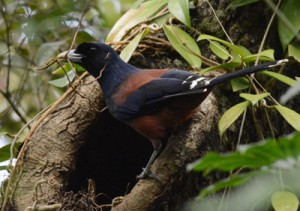 小枝を運んで巣作りに励むルリカケス(上)とひなたちに餌を届けるオーストンオオアカゲラ=龍郷町の奄美自然観察の森