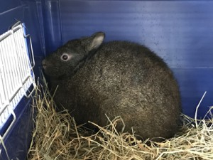 特別公開されたアマミノクロウサギのケンタ=19日、鹿児島市の平川動物公園