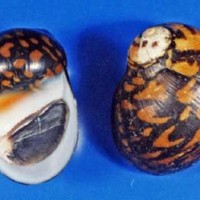 県の希少野生動植物に指定されたムラクモカノコガイ(県のレッドデータブックから転載)