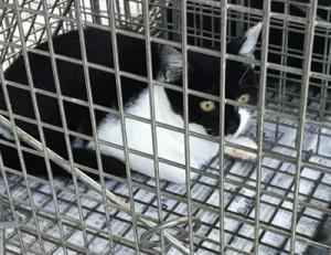 TNR事業で不妊手術を行うため捕獲された野良猫(奄美市環境対策課提供)