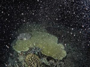 夜の海を神秘的に彩るサンゴの産卵=2日午後11時ごろ、瀬戸内町加計呂麻島の実久海岸沖で興克樹さん撮影