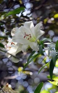 瀬戸内町請島の大山に咲くウケユリ。環境省のレッドリストで「絶滅危惧IA類」に分類されている