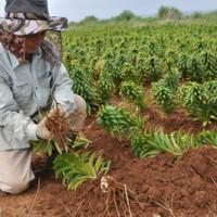 掘り取った球根の土を丁寧に払う生産者=18日、和泊町畦布