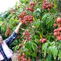赤い実が鈴なりのライチの木=21日、知名町上平川