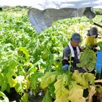 収穫作業に追われる葉タバコ農家=8日、知名町