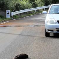 輪禍に遭ったとみられるアマミノクロウサギの死骸=19日、徳之島町母間の町道(池村茂さん提供)