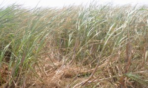 台風による強風にさらされる沖永良部島北部海岸沿いのサトウキビ畑=10日、和泊町国頭