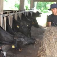 牛舎で、牛にえさをやる要さん=18日、知名町住吉