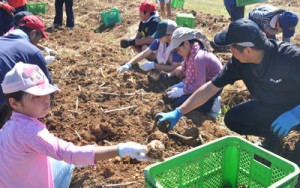 日差しの下、球根の掘り取り作業に励む参加者=15日、和泊町喜美留