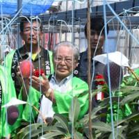 紅色に完熟したマンゴーを収穫する大久幸助町長(中央)ら=17日、天城町岡前