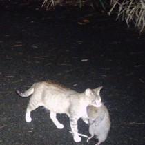 ケナガネズミをくわえたまま歩く猫(提供写真)=6月29日、徳之島の山中