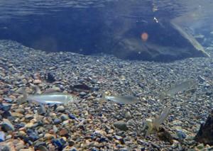 戸口川の浅瀬で泳ぐリュウキュウアユの群れ=9日、龍郷町戸口