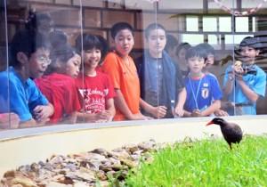 人口ふ化で生まれたヤンバルクイナを観察する奄美こども環境調査隊の隊員たち=3日、沖縄県国頭村の生態展示学習施設