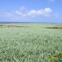 夏場も適度な雨が降り、順調に生育しているサトウキビのほ場=14日、知名町田皆