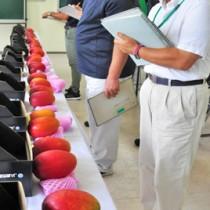 18点が出品され、外観や品質を厳正に審査した第4回奄美大島・喜界島マンゴー品評会=3日、奄美市