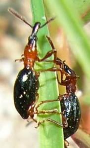 喜界島で一斉防除が始まったアリモドキゾウムシ。成虫は6~7ミリ