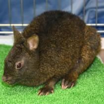 負傷して保護されたアマミノクロウサギ=7日、奄美市名瀬のゆいの島どうぶつ病院