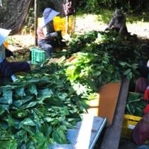 切った枝から桑の葉をそぎ落とす作業を行う町シルバー人材センターの会員ら=3日、知名町大津勘