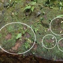 現地に自生していたアマミアワゴケ(上)と盗掘されたとみられる跡(環境省奄美自然保護官事務所提供)