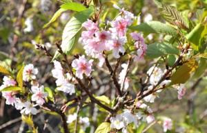 季節外れの開花で来訪者を驚かせているサクラ=22日、和泊町谷山のあしきぶ公園