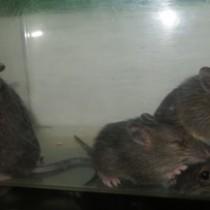 飼育下で初めて誕生したアマミトゲネズミ=13日、宮崎市フェニックス自然動物園(同園提供)
