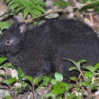 徳之島に生息する国の特別天然記念物アマミノクロウサギ(資料写真)