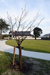 龍郷町が菊池市に贈ったヒカンザクラ=12日、菊池市の西郷南洲公園