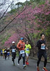 色付いた桜並木の下を駆け抜けるランナー=2018年2月4日、奄美市笠利町