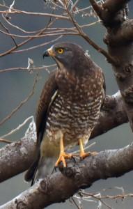 奄美大島に飛来した旅鳥のサシバ=10日、龍郷町